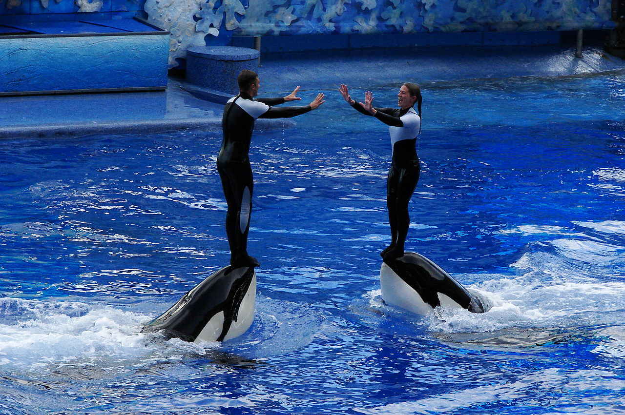 Orcas performing being mistreated