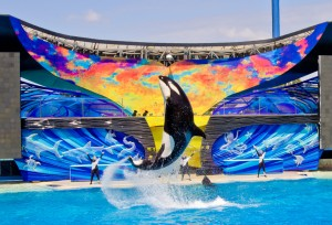 Orca whale jumps out of water performing trick at SeaWorld