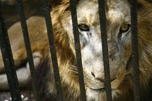 Lions need lots of space, and upon looking at zoo's enclosures for them, some are surprisingly small.
