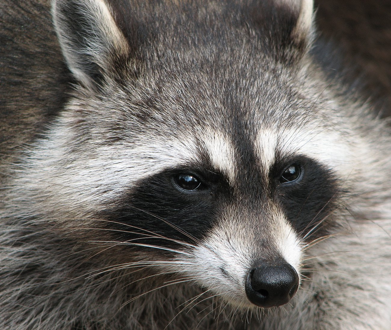 Raccoon stares away from camera and fur is visibly shown.