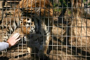 Guest hand reaches out to tiger in a cage. Attribution to: Melisa Weise - flicr.